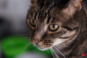 Fotograaf Eindhoven Huisdier, kater, kat,poes colorstudio61